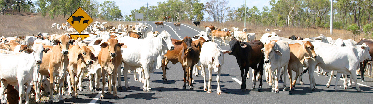 Cattle on Peninsula Development Road